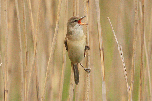 Great-Reed-Warbler-4