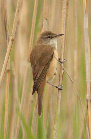 Great-Reed-Warbler-5