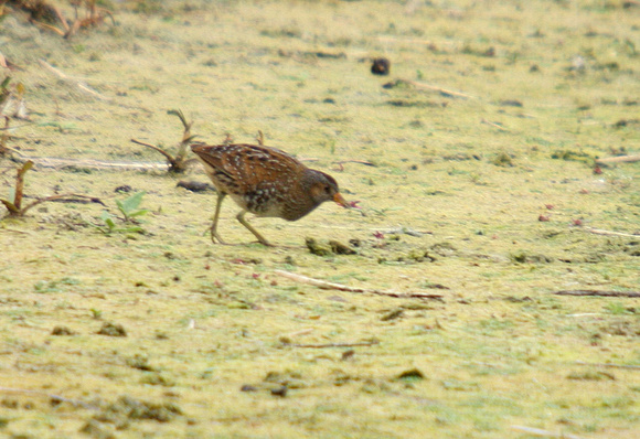 Spotted-Crake_0781