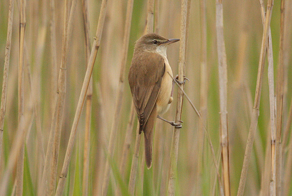 Great-Reed-Warbler-7