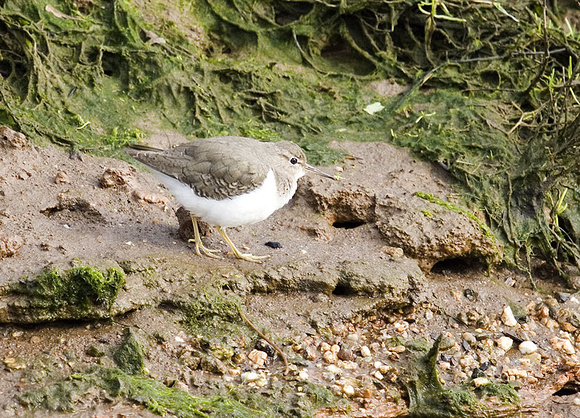 Spotted-Sandpiper9
