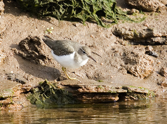 Spotted-Sandpiper4