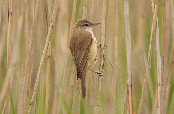 Great-Reed-Warbler-8