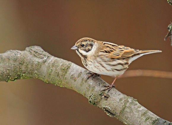 Reed-Bunting_5996