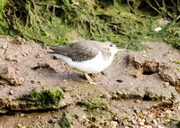 Spotted-Sandpiper10