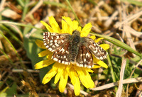 Grizzled-Skipper1