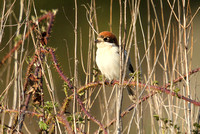 Woodchat Shrike Brandon Marsh
