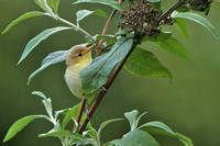 Melodious Warbler 0665