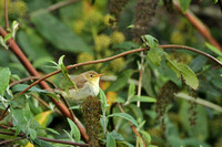 Melodious Warbler 0621