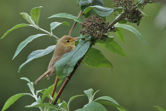 Melodious Warbler 0667