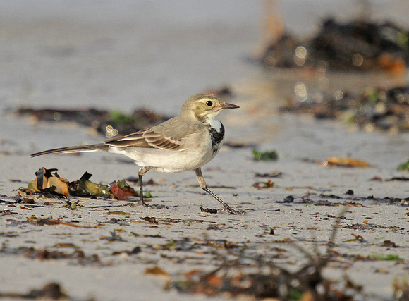 White-Wagtail6961