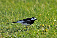 Pied-Wagtail-3