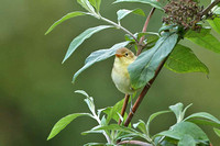 Melodious Warbler 0661