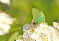 Green-Hairstreak7