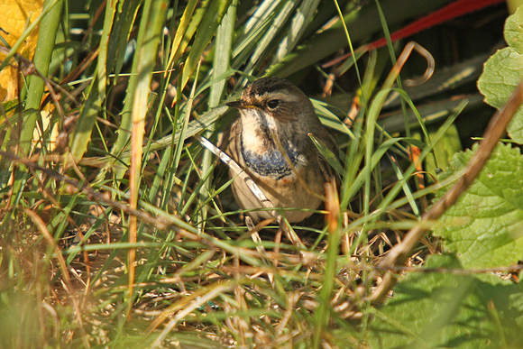 Bluethroat_1176