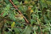 Melodious Warbler 0616