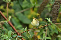 Melodious Warbler 0641