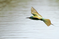 Blue-cheeked-Bee-eater_3475