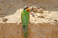 Blue-cheeked-Bee-eater_3700