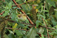 Melodious Warbler 0611