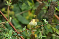 Melodious Warbler 0638