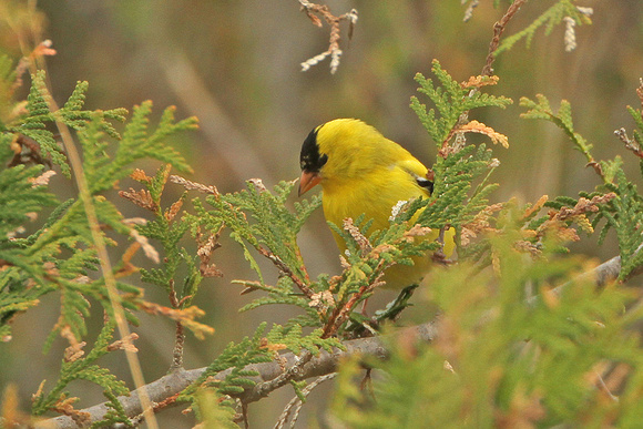 American-Goldfinch_5972