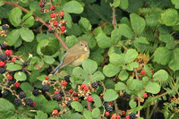 Red-flanked-Bluetail_8754