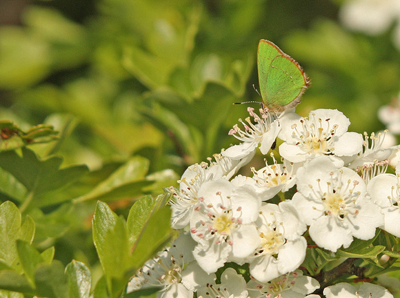 Green-Hairstreak5