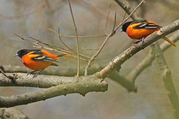 Baltimore-Orioles_4342